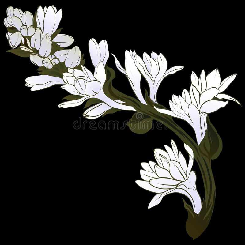 Vector image. Tuberose - branches. Medicinal, perfumery and cosmetic plants. Wallpaper. Use printed materials, signs, posters, pos. Tcards, packaging vector illustration