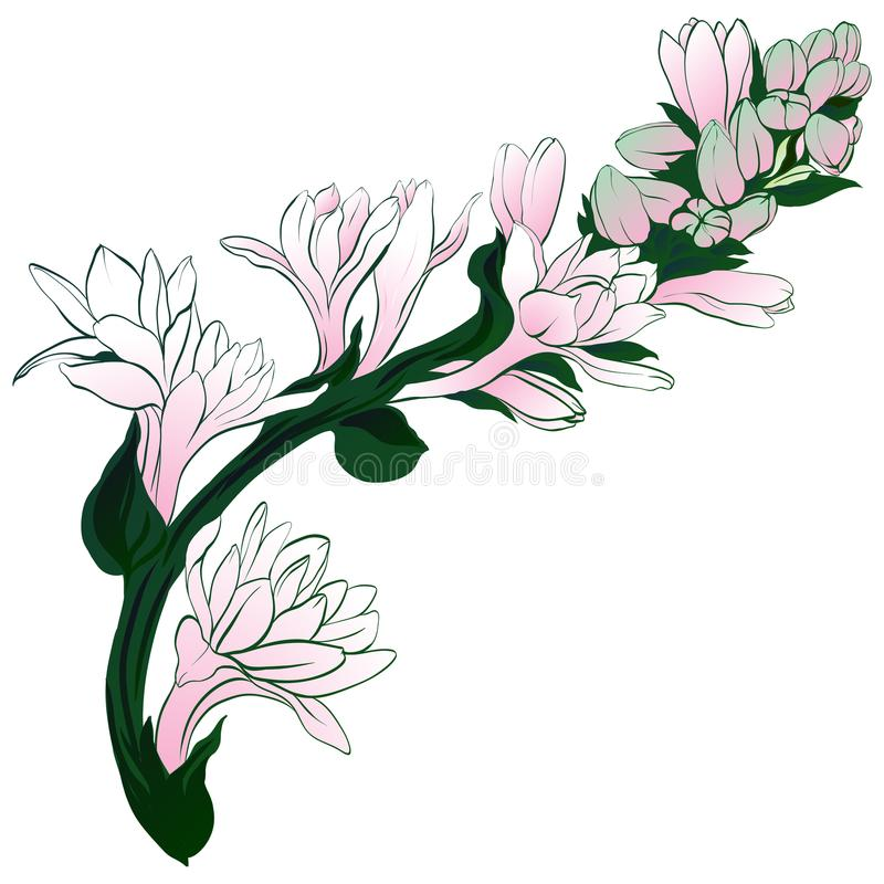 Vector image. Tuberose - branches. Medicinal, perfumery and cosmetic plants. Wallpaper. Use printed materials, signs, posters, pos. Tcards, packaging royalty free illustration