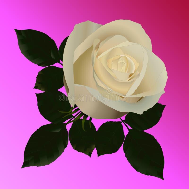 Vector a imagem das rosas brancas em um fundo cor-de-rosa Nenhum traço ilustração do vetor