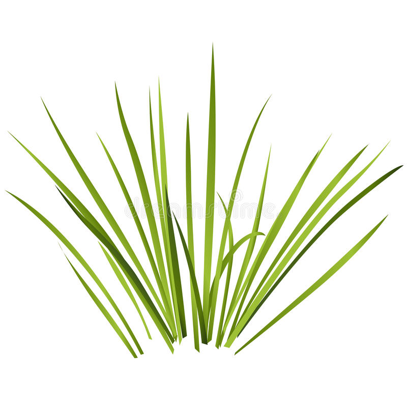 Vector isolated reed. Water plants in different variants, white background. Vector isolated reed. Water plants in different variant, isolated on white vector illustration