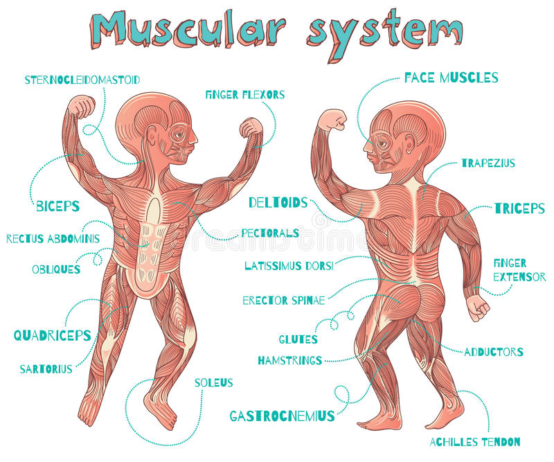 Vector Karikaturillustration Des Menschlichen Muskulösen Systems Für ...
