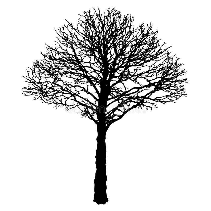 Vector l'immagine del contorno urbano nero dell'albero - il tiglio (tilia cordata) royalty illustrazione gratis