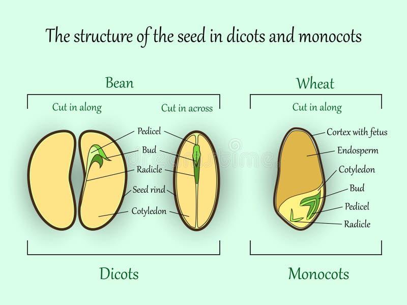 Vector la bandera de la botánica de la educación, el monocot de la estructura y las semillas de la planta del dicot en secciones  ilustración del vector