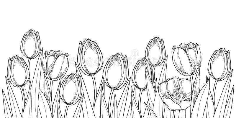 Vector la frontera horizontal con las flores del tulipán del esquema, el brote y las hojas adornadas en negro aislados en el fond libre illustration