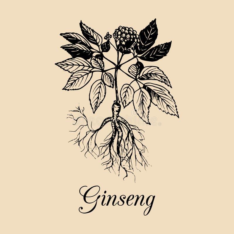 Vector la raíz del ginseng, las hojas y el ejemplo de la flor Bosquejo dibujado mano de la planta medicinal Officinalis, logotipo ilustración del vector