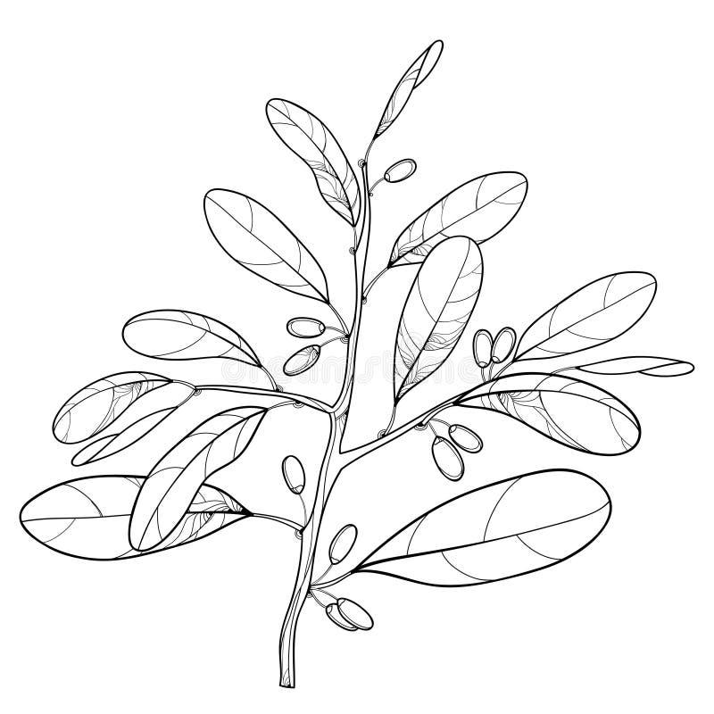 Vector la rama de la planta de la cocaína del esquema o de la coca del Erythroxylum Hoja adornada y fruta en negro aisladas en el stock de ilustración