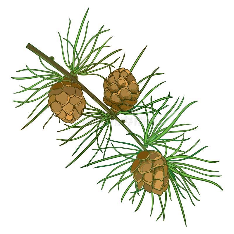 Vector la ramita con el árbol del alerce europeo o del Larix del esquema Ramifique con follaje verde y conos marrones aislados en libre illustration