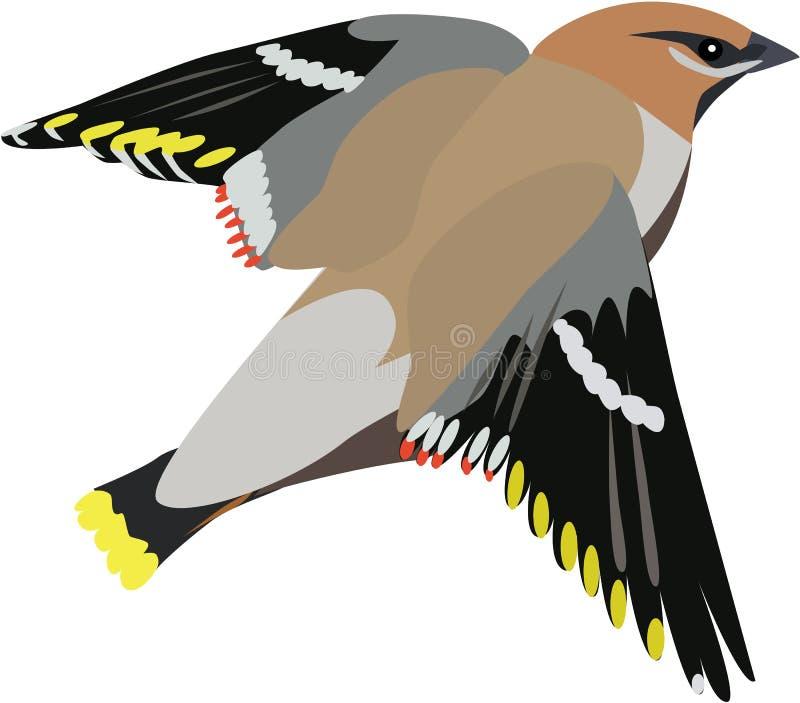 Vector lindo del waxwing ilustración del vector