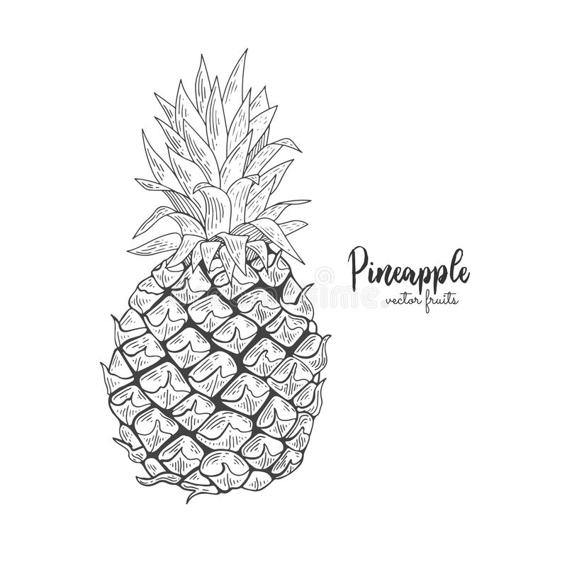 Vector line illustration in engraving style. Exotic tropical pineapple on white background. Detailed fruit drawing royalty free illustration