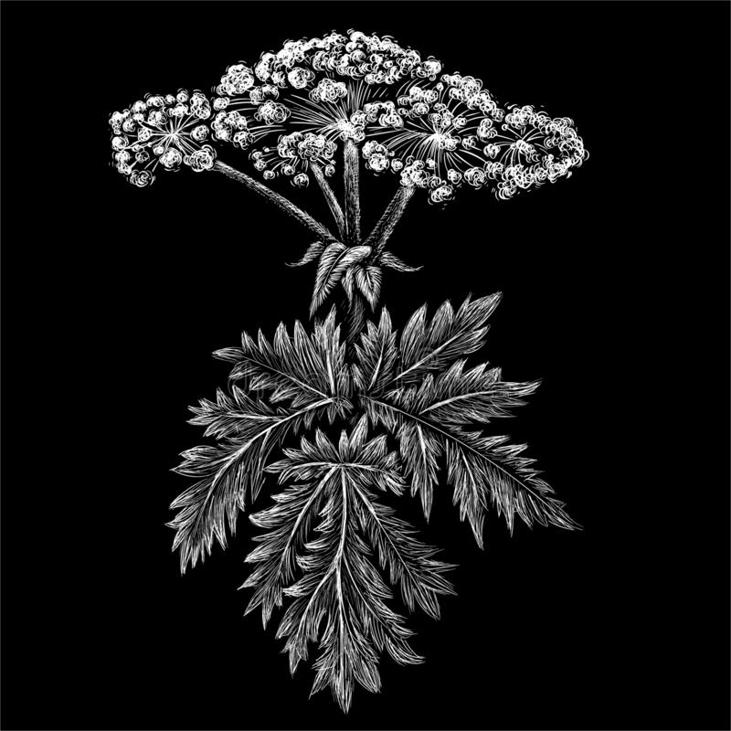 The Vector logo hogweed for tattoo or T-shirt design or outwear. Cute print style hogweed background. vector illustration