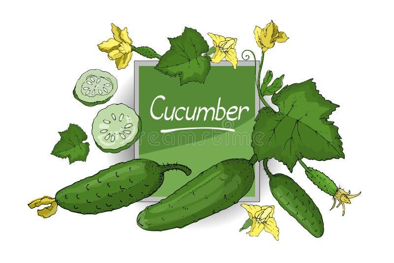 Vector met groene verse komkommer wordt geplaatst die stock illustratie