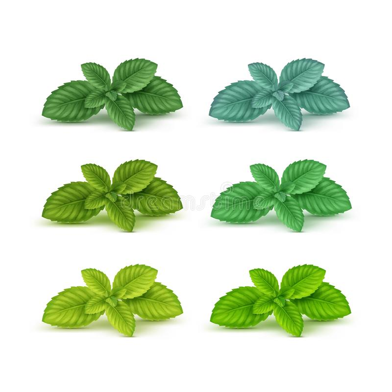Free Vector Mint Spearmint Peppermint Leaf Leaves Set On White Stock Photography - 70043832