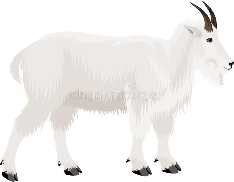 Vector mountain goat illustration in Mount Evans Wilderness Colorado. Isolated vector illustration