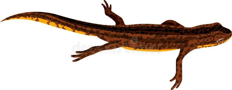 Vector newt illustration royalty free illustration