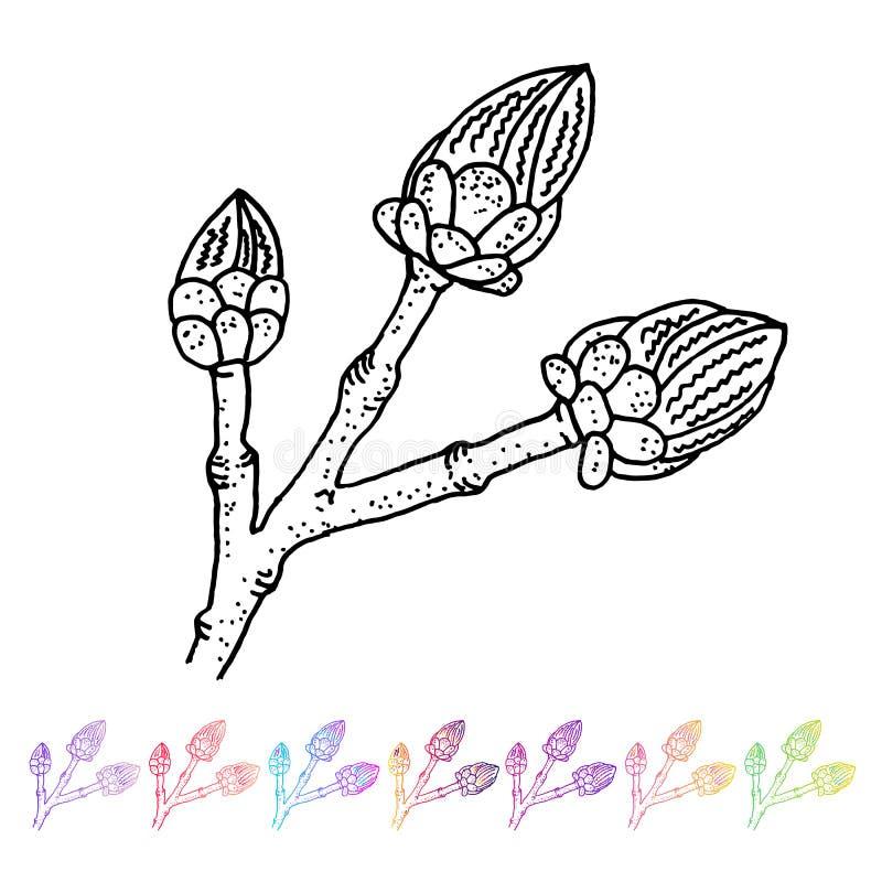 Vector Nierenknospenschwarzmuster in der Anlagenplanung Handgemalte Frühlingsgartenflora Schwarzes sletch lokalisiert auf whie vektor abbildung