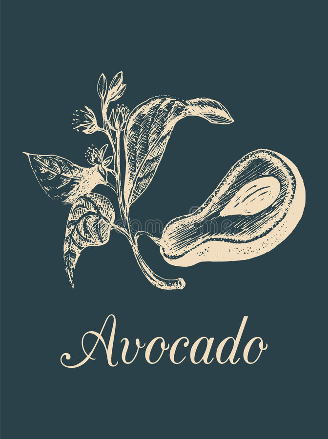 Vector o fruto de abacate, a semente e a ilustração do ramo Entregue o esboço botânico tirado da planta tropical verde no estilo  ilustração royalty free