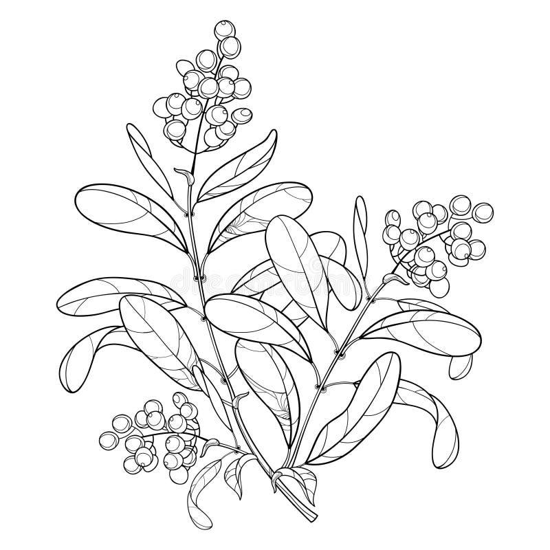 Vector o ramo com o alfeneiro ou o Ligustrum da planta venenosa do esboço Grupo do fruto, baga e folha ornamentado no preto isola ilustração do vetor