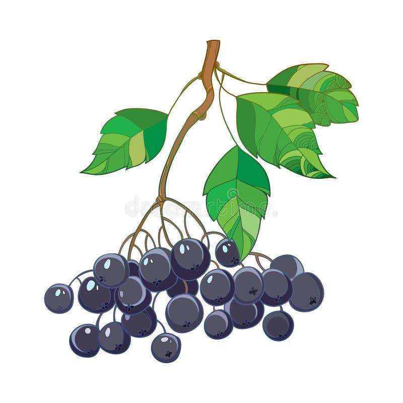 Vector o ramo com o Chokeberry ou o Aronia do preto do esboço, as folhas e a baga isoladas no branco Ilustração com a baga madura ilustração royalty free