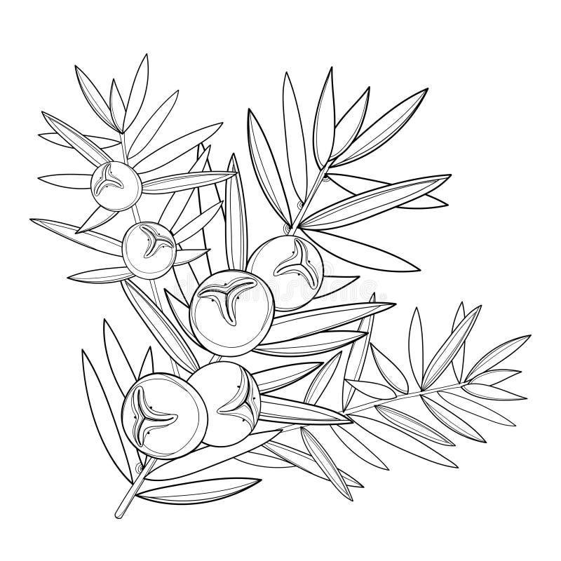 Vector o ramo com zimbro do esboço ou o juniperus communis Grupo, baga e pinho no preto isolados no fundo branco ilustração stock