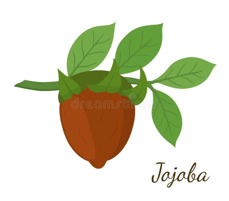 Vector o ramo do jojoba, simmondsia chinensis, planta dos cosméticos, óleo orgânico, erva do aroma Feito no estilo liso dos desen ilustração stock