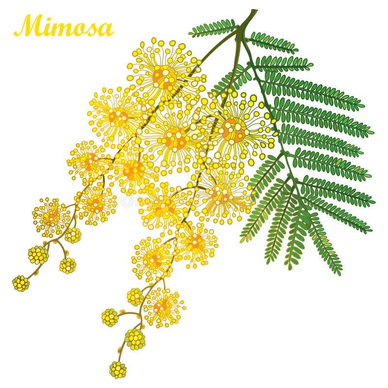 Vector o ramo flor do amarelo do dealbata da mimosa ou da acácia do esboço ou do wattle de prata, botão e folhas do verde isolada ilustração stock