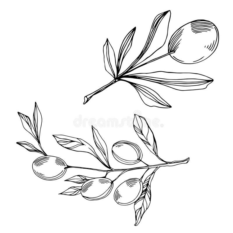 Vector Olive branch with fruit. Black and white engraved ink art. Isolated olive illustration element. vector illustration