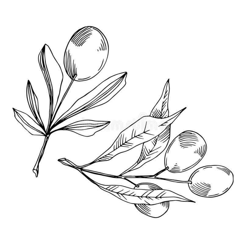 Vector Olive branch with fruit. Black and white engraved ink art. Isolated olive illustration element. stock illustration
