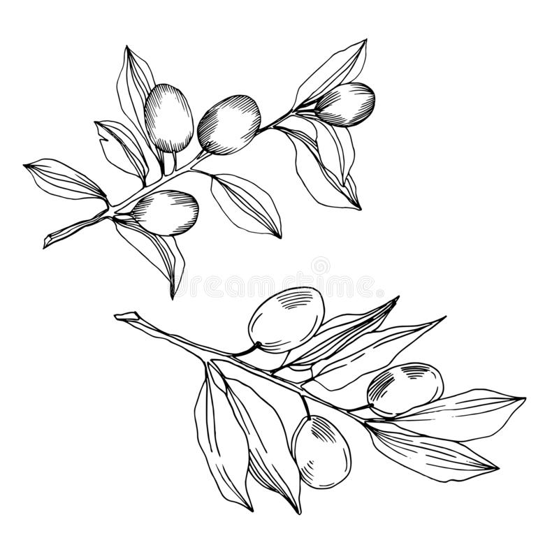 Vector Olive branch with fruit. Black and white engraved ink art. Isolated olive illustration element. royalty free illustration