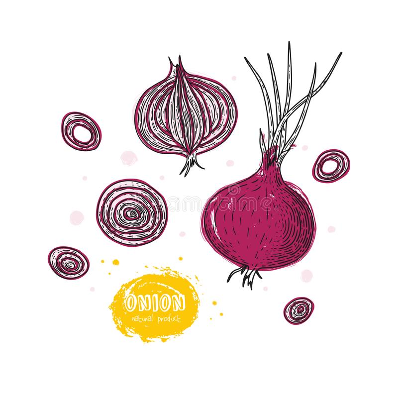 Vector onion hand drawn illustration in the style of engraving. Detailed vegetarian food drawing. Farm market product vector illustration