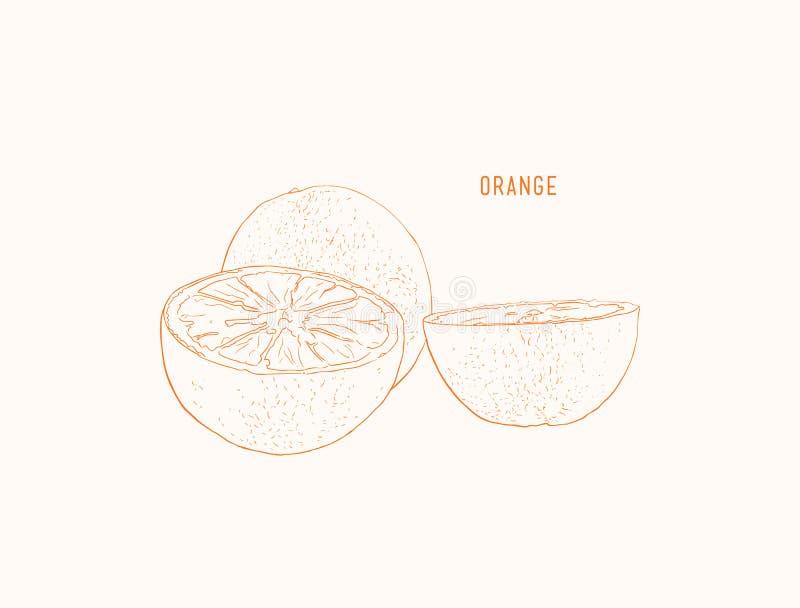 Vector oranges hand drawn sketch. Sketch vector food illustration. Vintage style stock illustration