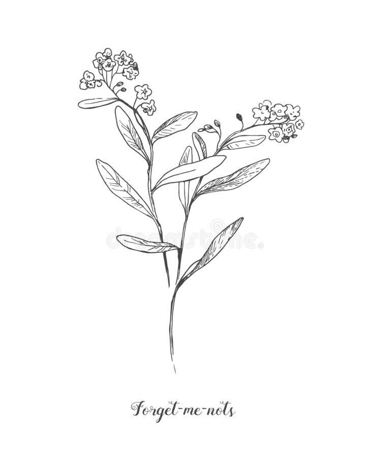 Vector outline Forget me not or Myosotis flower, bud, leaves and bunch in black isolated on white background. Wild plant royalty free illustration