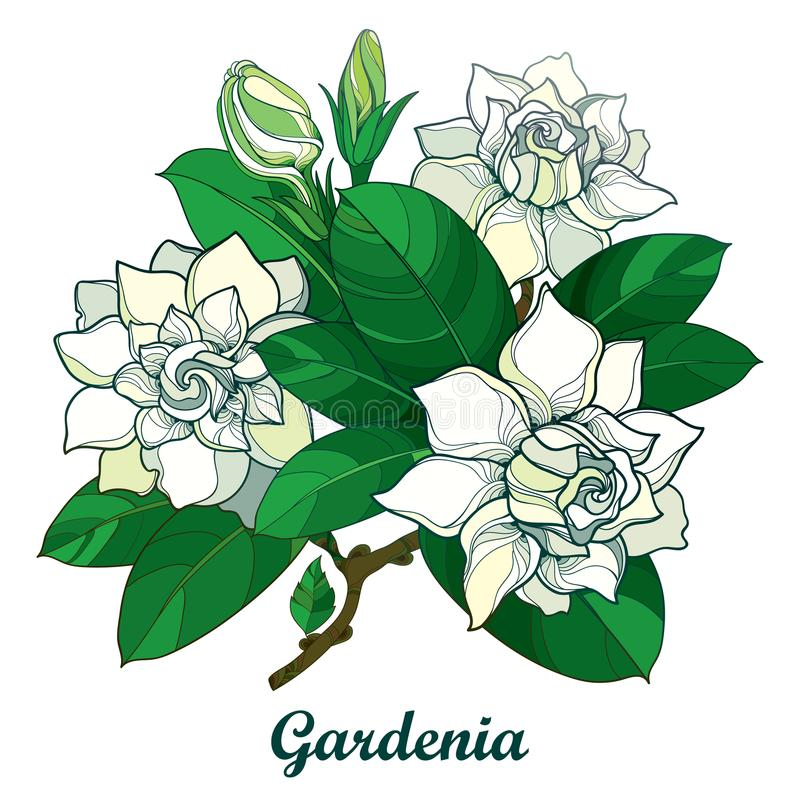 Vector Outline Gardenia Flower Bouquet, Bud And Ornate Green Leaves ...