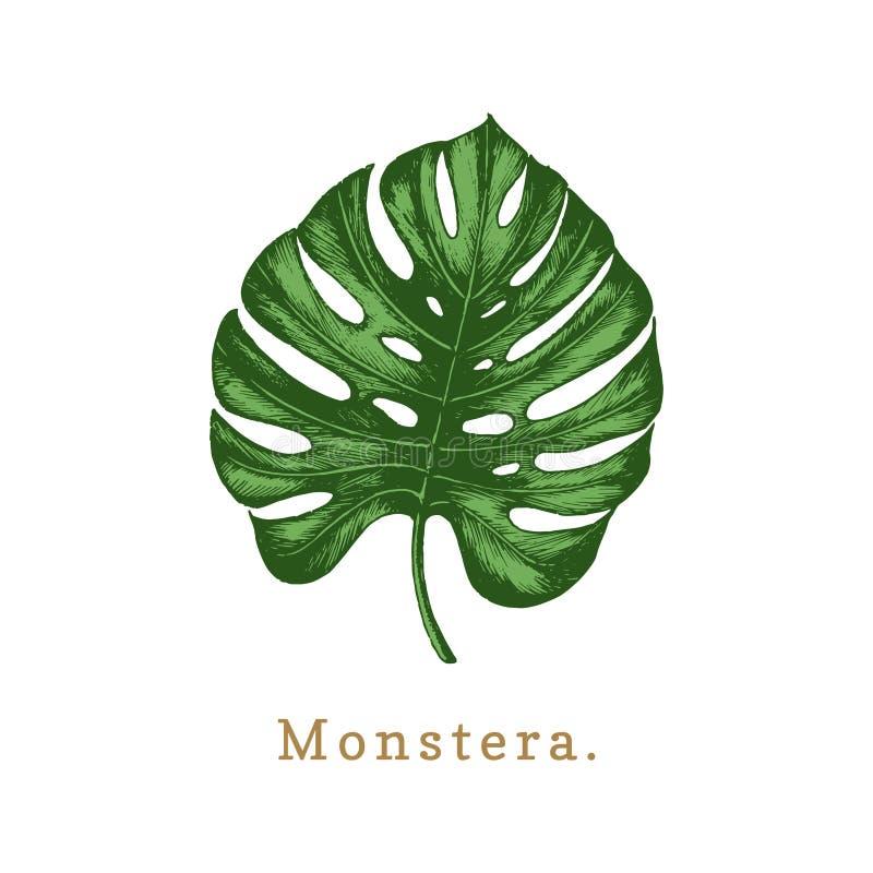 Vector palm leaf illustration on white background.Poster with Monstera. Vector palm leaf illustration on white background. Poster with Monstera stock illustration