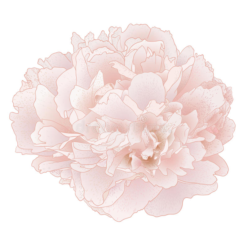 Download Vector peony flower. stock vector. Illustration of drawn - 26196008