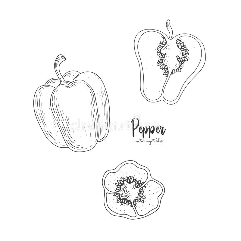 Vector pepper hand drawn illustration in the style of engraving. Detailed vegetarian food drawing. Farm market product. Great for vector illustration