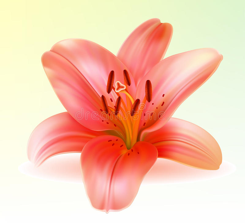 Vector photo-realistic pink lily. Vector photo-realistic beautiful pink lily stock illustration
