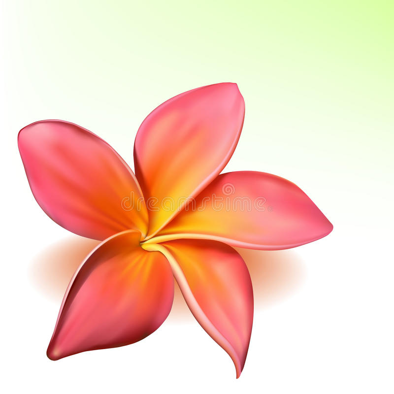 Vector photo-realistic plumeria flower. Vector photo-realistic beautiful pink plumeria flower stock illustration