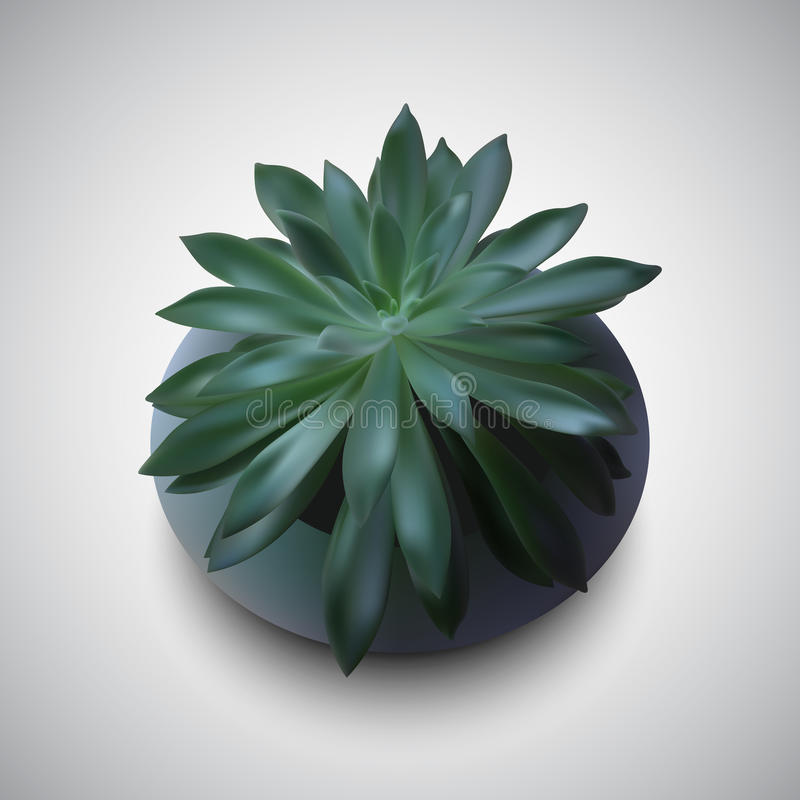 Vector photo-realistic succulent. Echeveria a beautiful succulents in a pot. Photo-realistic royalty free illustration