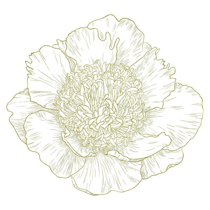 Vector pioenbloem. royalty-vrije illustratie