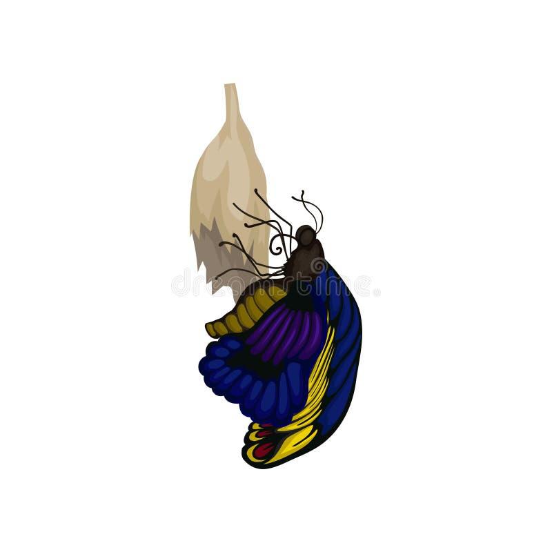 Vector plano de la mariposa nuevamente nacida en el capullo Insecto de vuelo con las alas azul-amarillas Tema de la entomología ilustración del vector