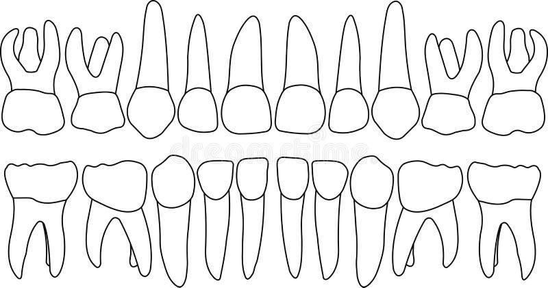 Dental row primary teeth. Anatomically correct baby teeth Vector primary teeth dental row vector illustration
