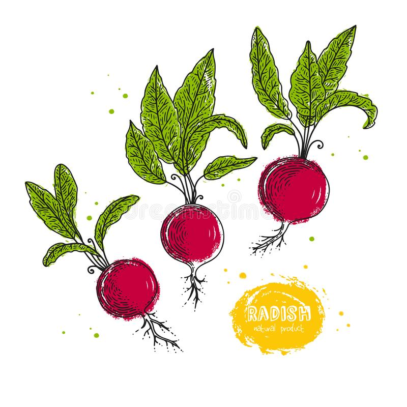 Vector radish hand drawn illustration in the style of engraving. Detailed vegetarian food drawing. Farm market product vector illustration