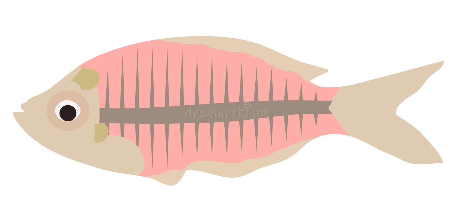 Vector X-Ray Fish Isolated On White Background. royalty free illustration