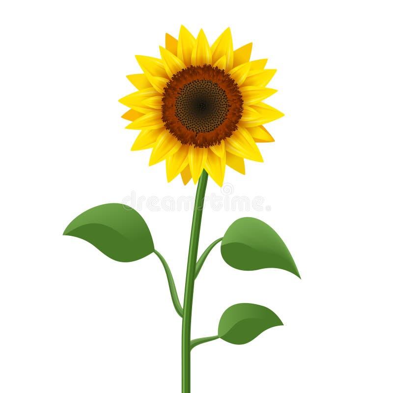 Vector realista del icono del girasol aislado Ejemplo amarillo de la flor de la naturaleza del flor del girasol para el verano ilustración del vector