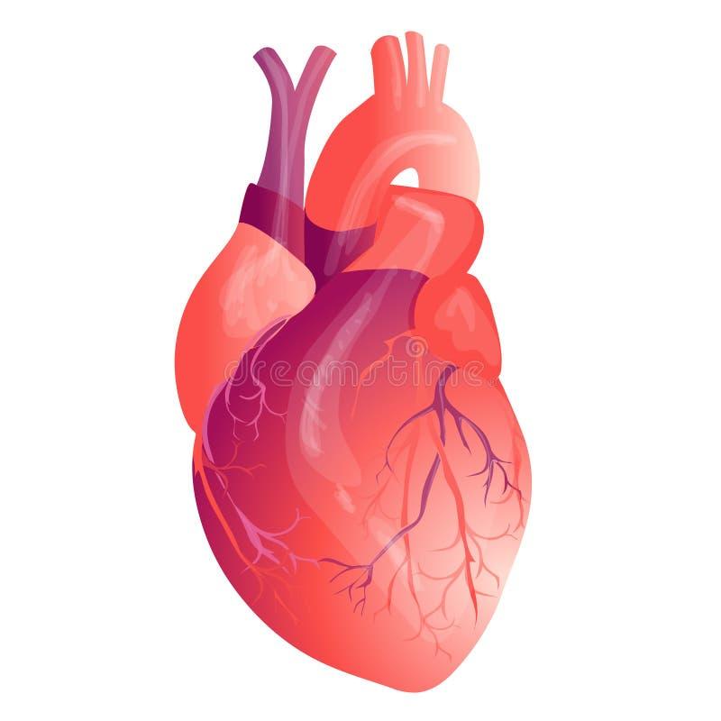 Internal Anatomy Diagram Heart Diy Enthusiasts Wiring Diagrams