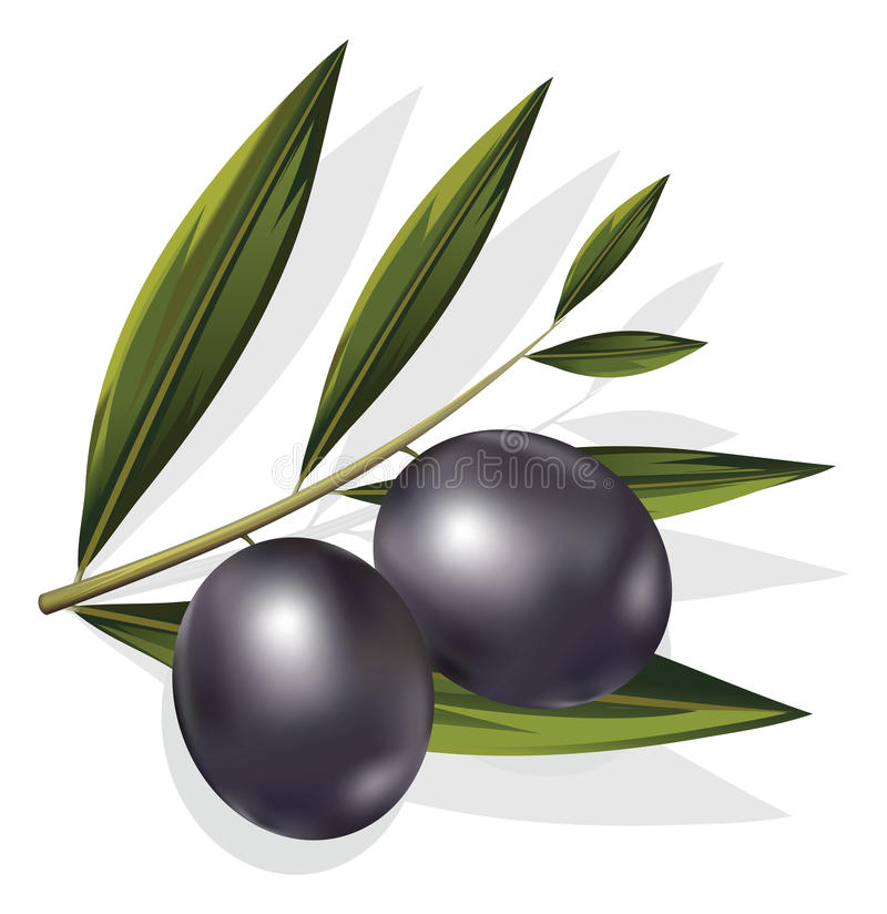 Vector realistic illustration of black and olives branch isolate stock illustration