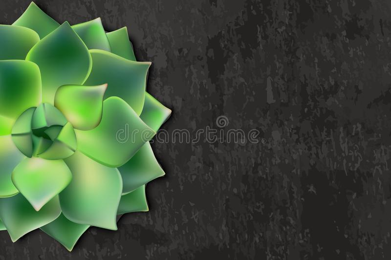 Vector realistic illustration of green succulent Echeveria on black background. Banner template with copy space. Vector realistic illustration of green stock illustration
