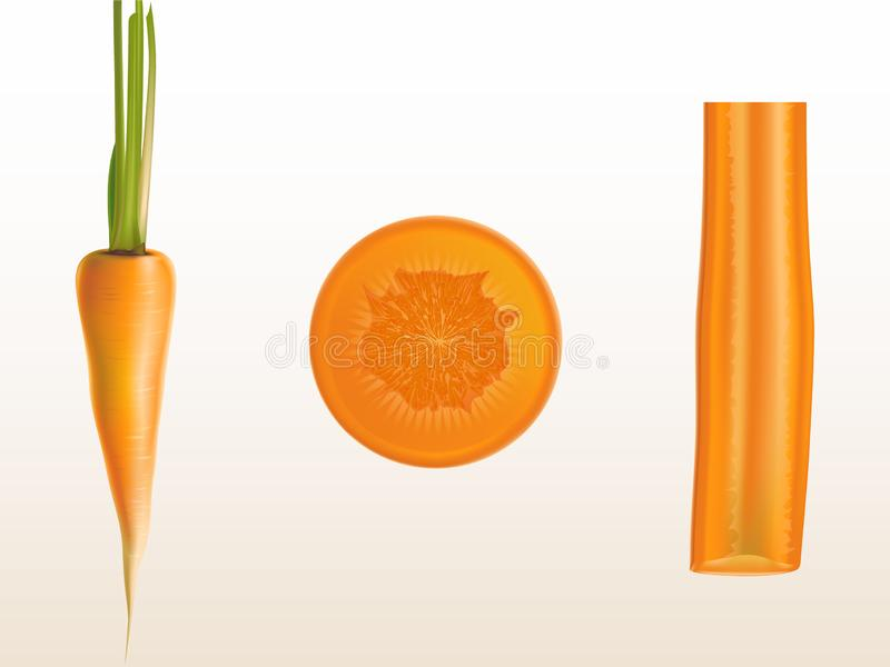 Vector realistic illustration of orange carrot. Whole and sliced pieces isolated on background. Sweet vegetable rich in vitamins for cooking and eating royalty free illustration