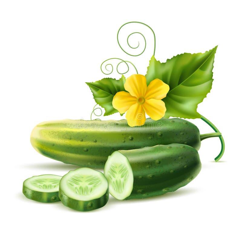 Vector realistische het bladbloem van komkommer groene haulm royalty-vrije illustratie