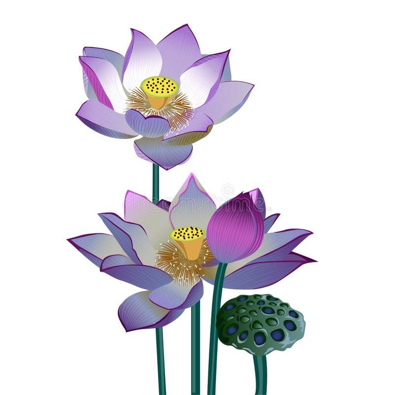 Vector realistische Illustration von den Lotosblumen und -knospen, die auf weißem Hintergrund lokalisiert werden stock abbildung